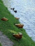 Patos dourados bonitos na costa do lago fotos de stock royalty free