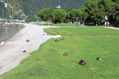 Patos e cisnes da limpeza da manhã no lakeshore Fotografia de Stock