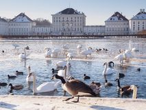 Patos e cisnes em Munich Imagem de Stock