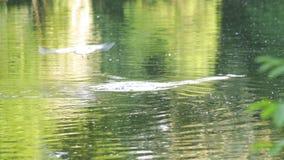 Patos e gaivota no lago vídeos de arquivo