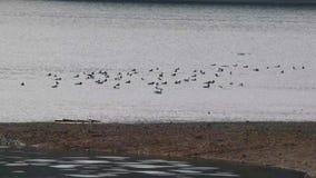 Patos e gaivotas que nadam em um lago video estoque