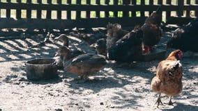 Patos e galinha domésticos de alimentação na exploração agrícola Negócio que cultiva o conceito filme