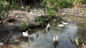 Patos e gansos no pátio filme