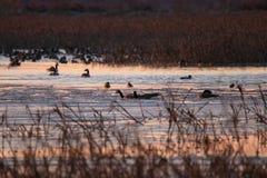 Patos e gansos no pântano foto de stock royalty free