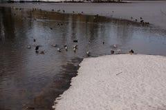 Patos e pássaros em uma água gelada - ajardine invernal Imagens de Stock Royalty Free