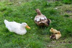 Patos e patinhos da mamã na grama Fotografia de Stock