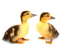 Patos el mirar fijamente Imagen de archivo libre de regalías