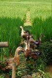 Patos em campos do arroz fotografia de stock