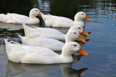 Patos em seguido Imagem de Stock