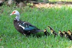 Patos em seguido Fotos de Stock Royalty Free