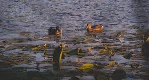 patos em um lago com waterlilies Imagens de Stock
