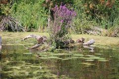 Patos em um log em torno das flores roxas Imagens de Stock Royalty Free