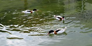 3 patos em um rio fotografia de stock