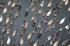 Patos em uma água em Kerala, Índia Fotos de Stock