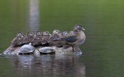 Patos em uma fileira Imagens de Stock Royalty Free