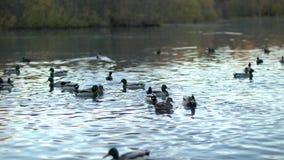 Patos em uma lagoa video estoque