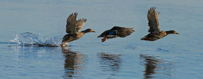 Patos em vôo Imagem de Stock