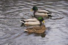 Patos en agua, en buen tiempo Foto de archivo