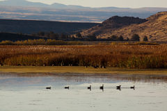 Patos en Benson Pond Fotografía de archivo