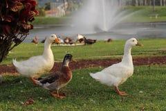 Patos en Costa Rica Fotos de archivo