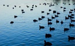 Patos en el agua Foto de archivo libre de regalías