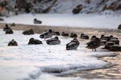Patos en el agua foto de archivo