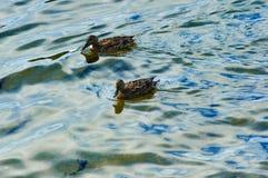 Patos en el agua Fotos de archivo libres de regalías