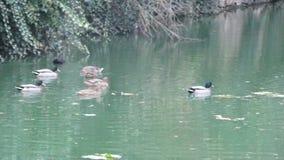 Patos en el agua City Neauphle le Château - Francia Imagen de archivo