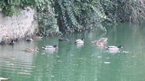 Patos en el agua City Neauphle le Château - Francia Fotos de archivo