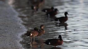 Patos en el borde de las aguas almacen de metraje de vídeo