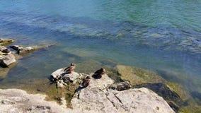 Patos en el borde del río almacen de video
