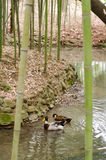 Patos en el bosque de bambú Fotos de archivo