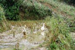 Patos en el campo del arroz Foto de archivo libre de regalías