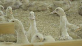 Patos en el corral metrajes