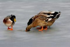 Patos en el hielo Imagenes de archivo