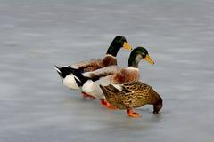Patos en el hielo Imagen de archivo