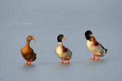 Patos en el hielo Foto de archivo libre de regalías