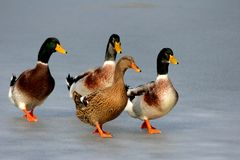 Patos en el hielo Fotografía de archivo libre de regalías