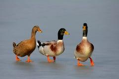 Patos en el hielo Fotografía de archivo