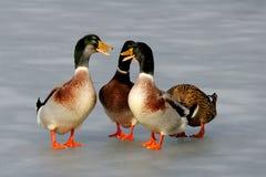 Patos en el hielo Imagen de archivo libre de regalías
