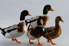 Patos en el hielo Imágenes de archivo libres de regalías