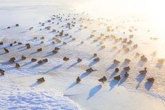 Patos en el hielo que congela mañana fría Fotos de archivo