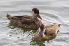 Patos en el lago Imágenes de archivo libres de regalías