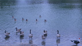 Patos en el lago Imagenes de archivo