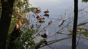 Patos en el lago almacen de video