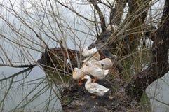 Patos en el lago de madera Fotos de archivo libres de regalías