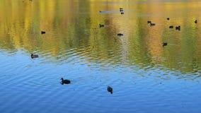 Patos en el lago en otoño