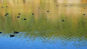 Patos en el lago en otoño almacen de video