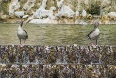Patos en el parque Imagenes de archivo