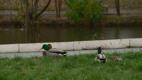 Patos en el parque de la ciudad de Kirov metrajes